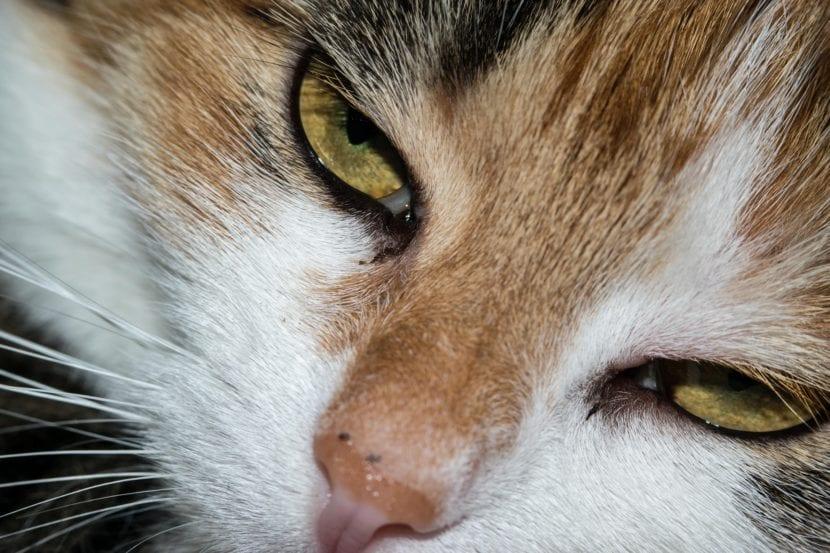 Los gatos pueden ronronear
