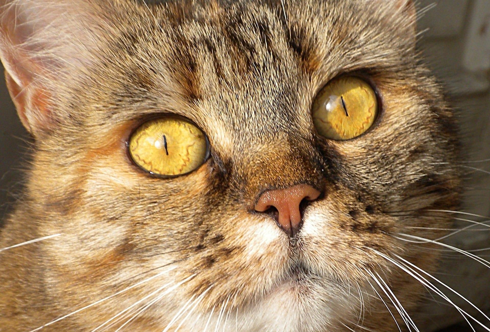 Por Qué Mi Gato Me Huele Noti Gatos