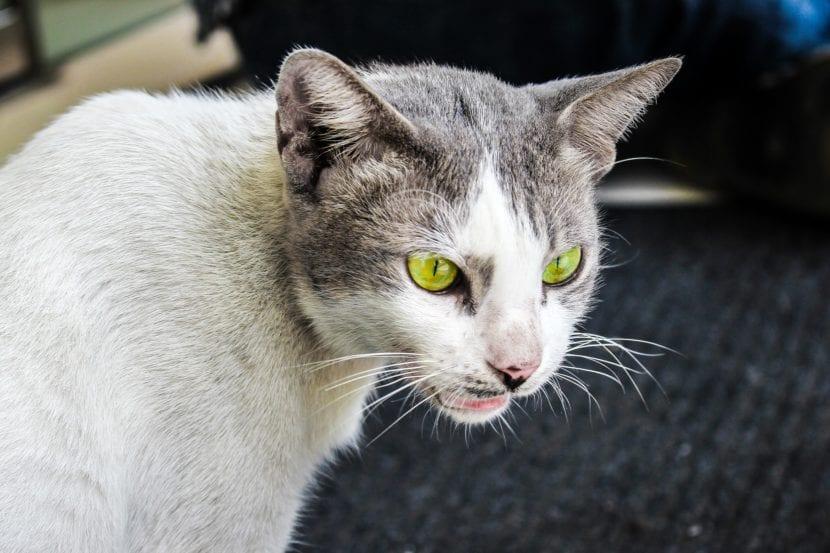 Los gatos bufan por varios motivos