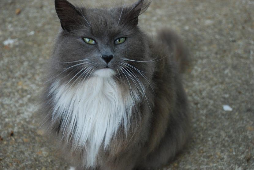 Gato gris de pelo largo