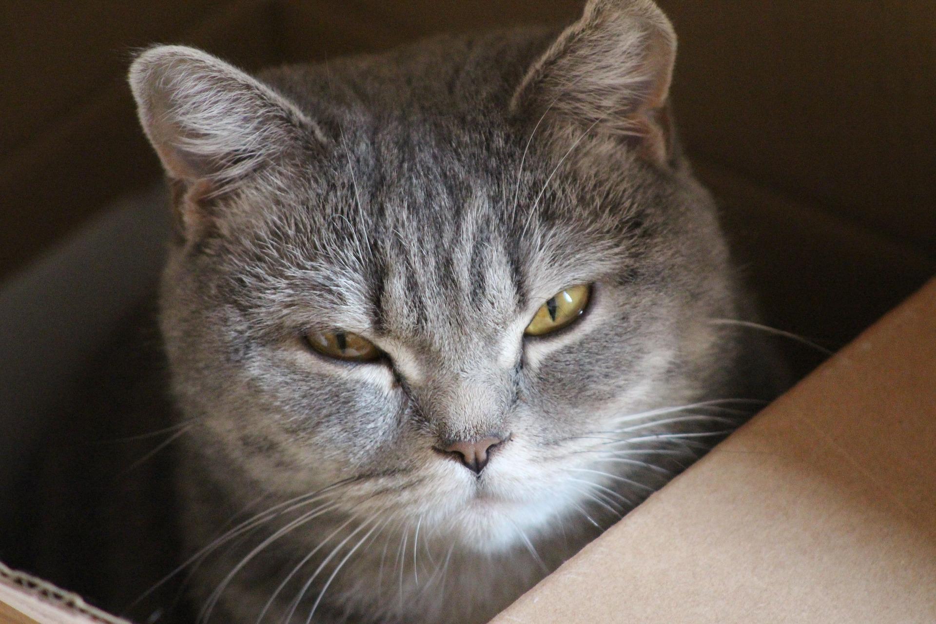 El corte en las orejas del gato no les hace mucho daño
