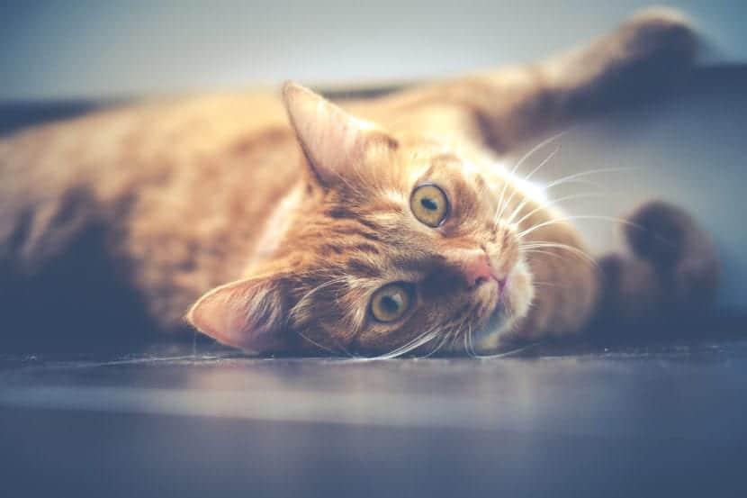 Gato naranja tumbado