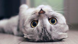 Los gatos que tienen la oreja cortada suelen estar castrados