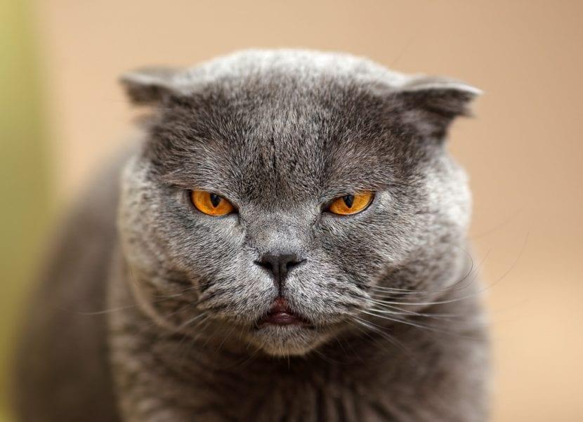 Gato Scottish Fold
