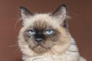 Gato siamés joven