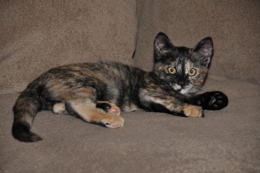 Gato tortuga en el sofá