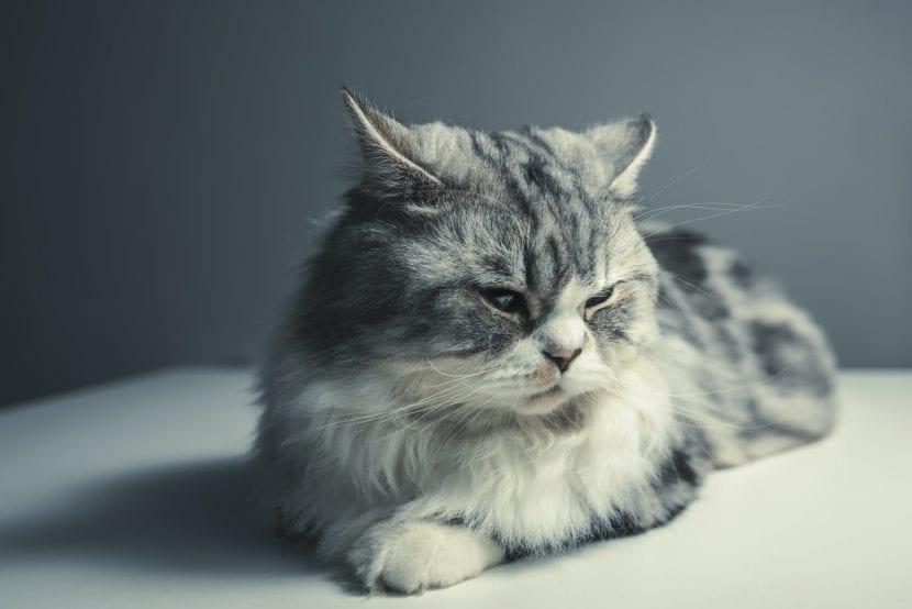 Las gatas se quedan embarazadas a los cuatro o cinco meses