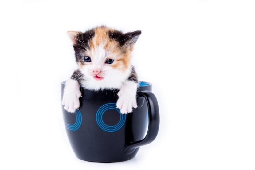 Gatito en taza