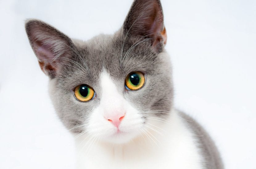 El gato puede temblar por frío