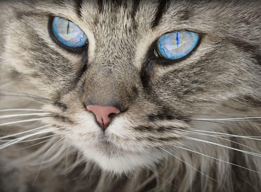 Gato adulto de ojos azules