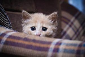 Gato asustado escondido detrás del sofá