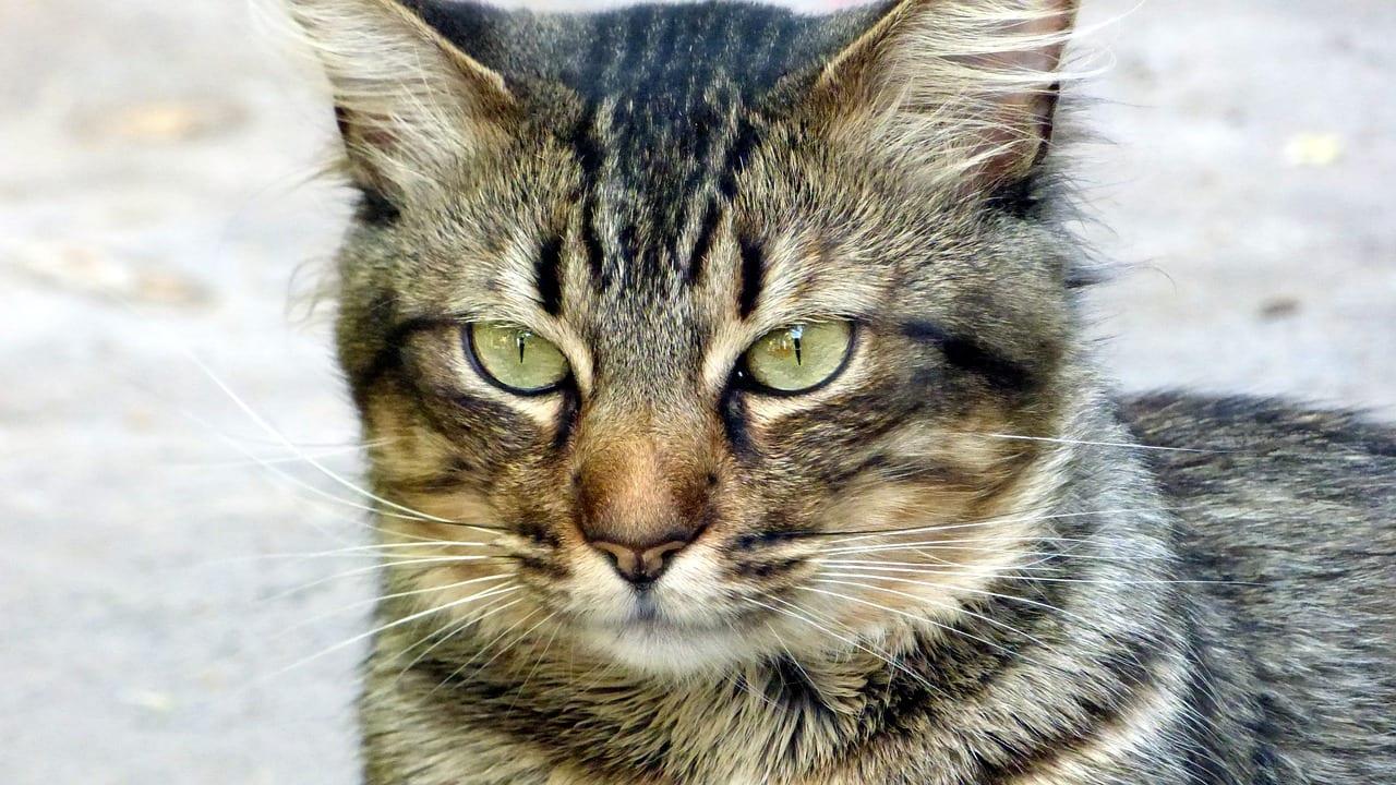 Gato atigrado gris