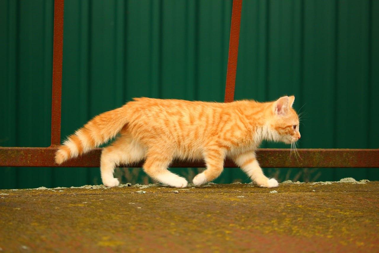 Gato caminando