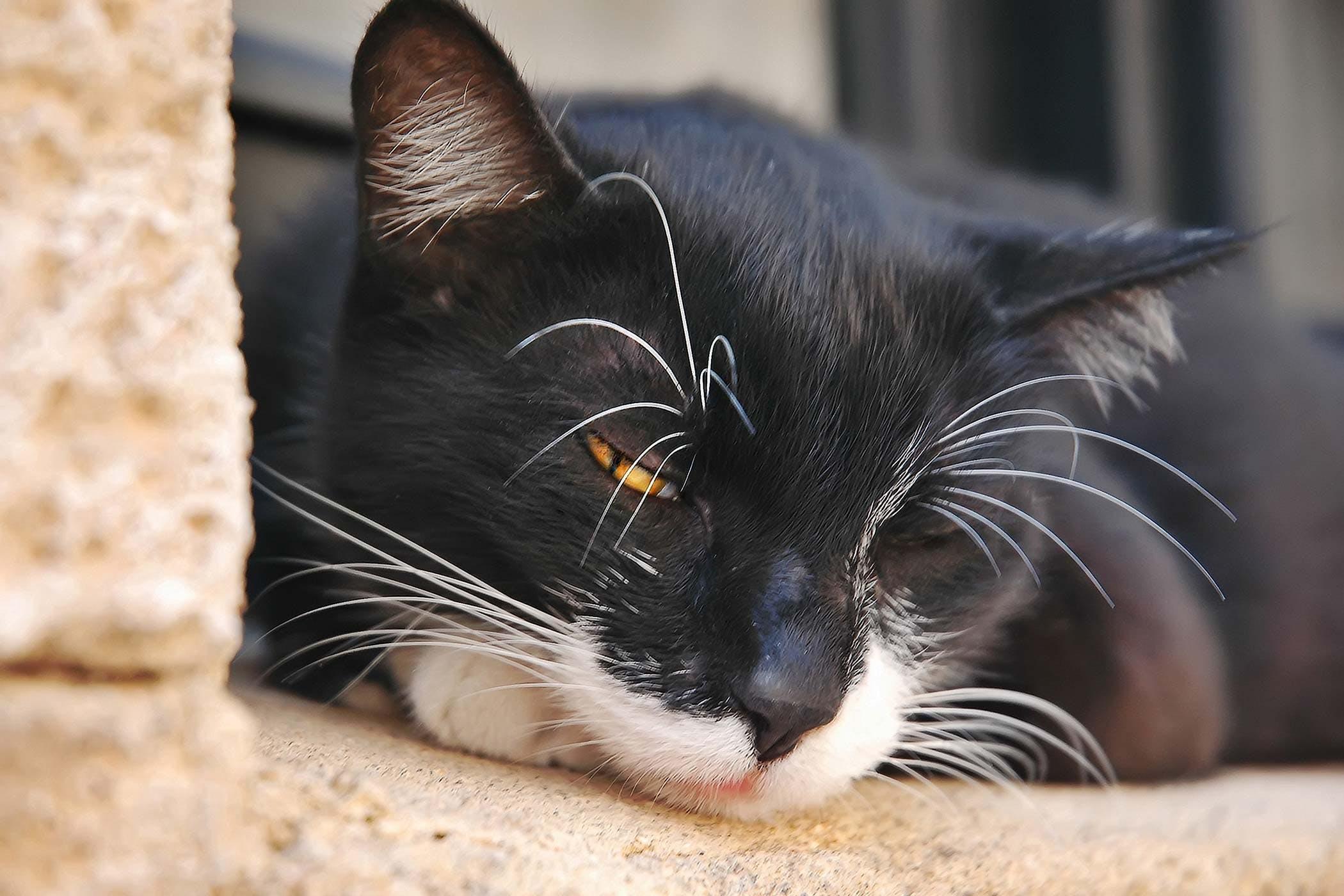 Los gatos pueden tener dolor en su abdomen