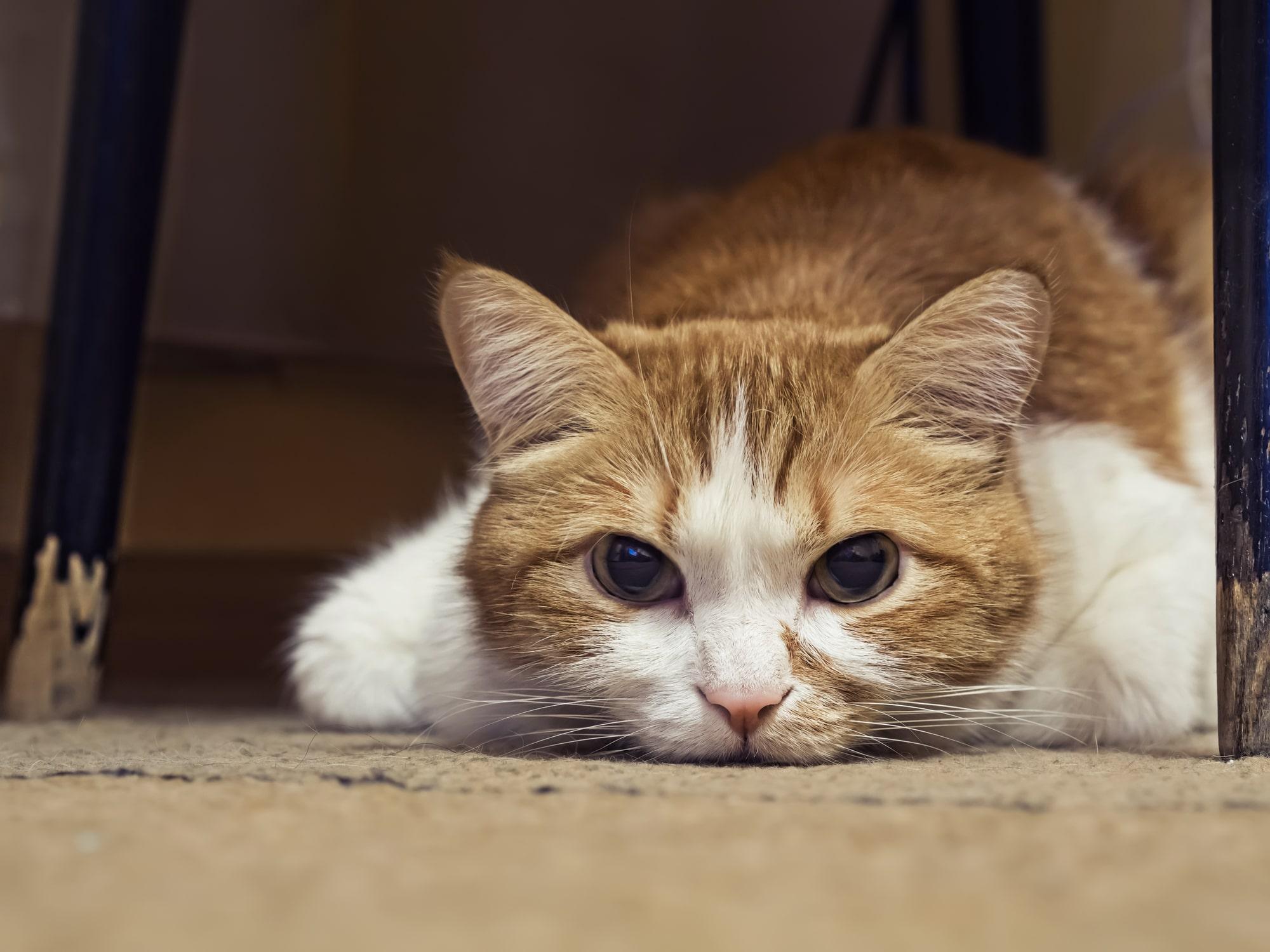 Los gatos pueden sentir dolor en el abdomen