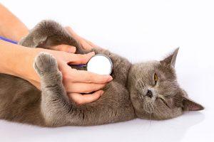 Si tu gato tiene dolor abdominal, llévalo al veterinario
