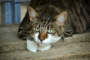 Los gatos en celo querrán salir a la calle