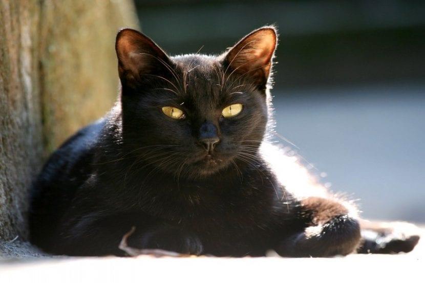 gato-negro-tumbado
