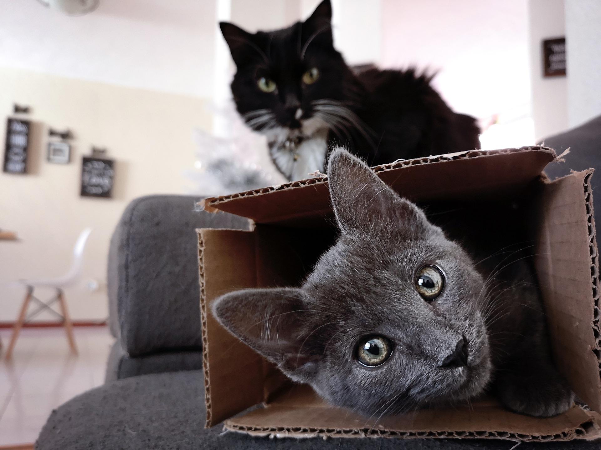 Los gatos en celo pueden volverse muy cariñosos