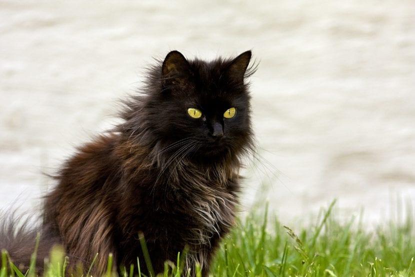 Gato tiffany