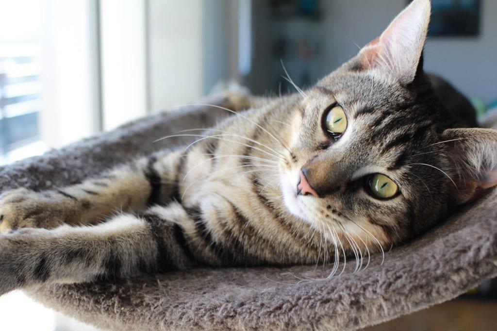 Gato atigrado descansando