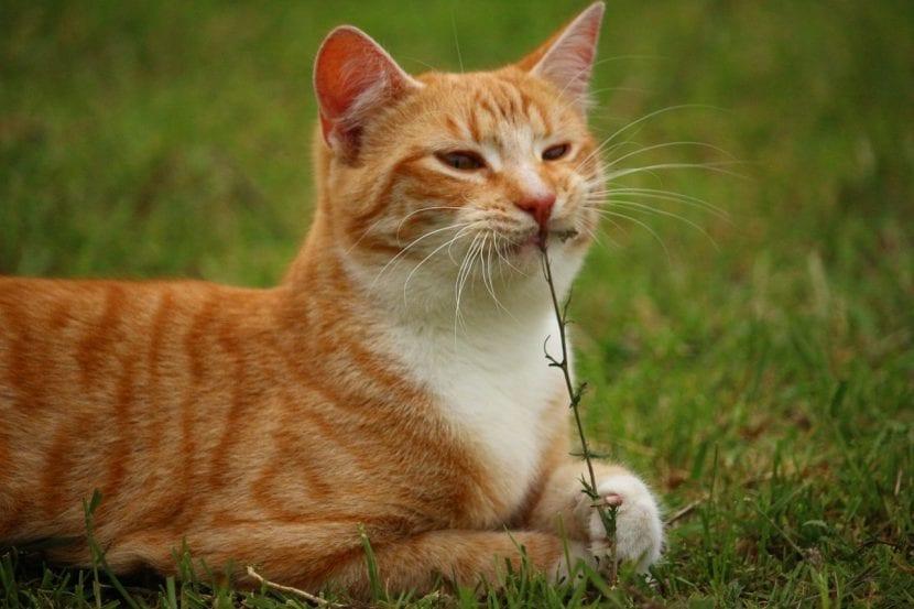 Gato naranja comiendo hierba