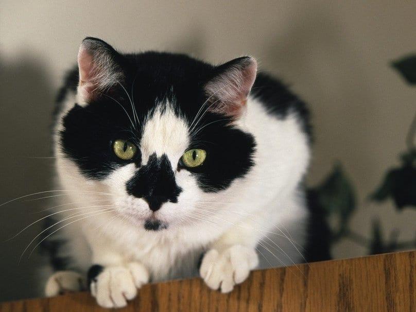 Gato tuxedo