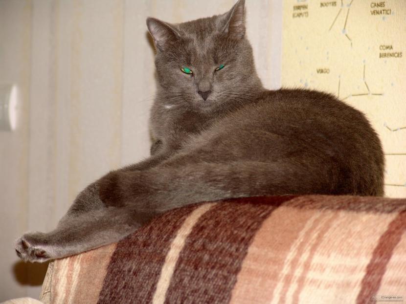 Gato gris en sofá