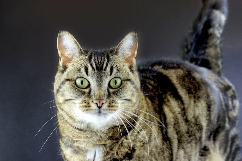gato-atigrado