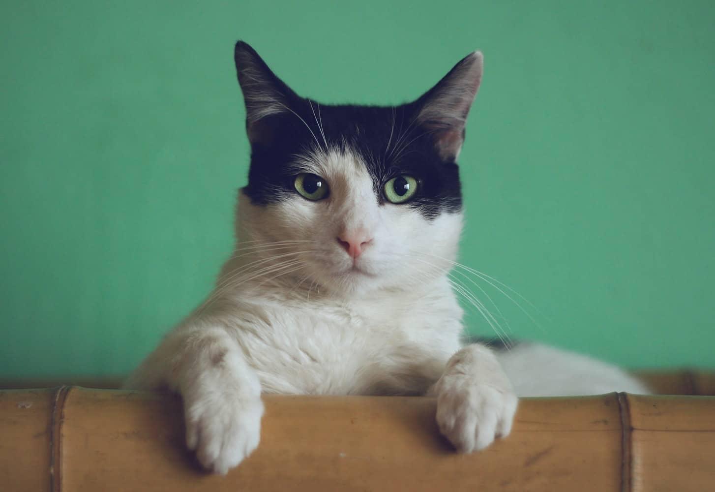 Los gatos bicolores son preciosos