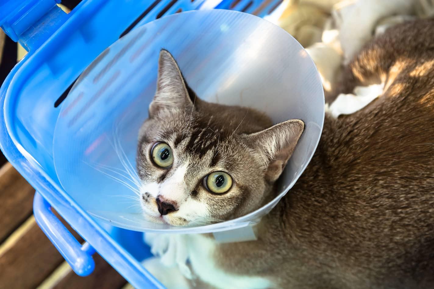 El collarín es indispensable para el gato con fractura de cadera