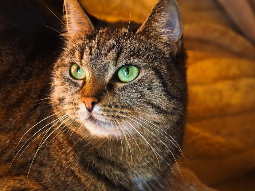 Gato de ojos verdes