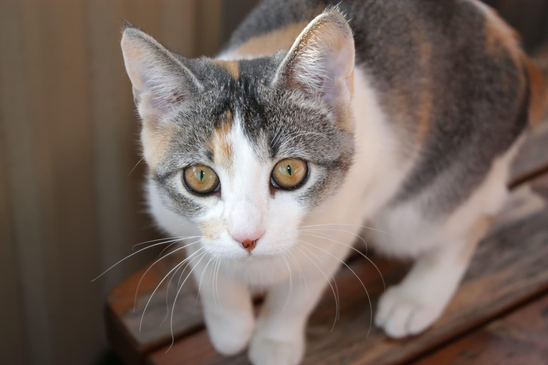 Los gatos pueden tener una fractura de cadera