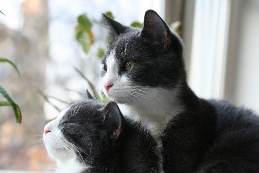 Gatos bicolores
