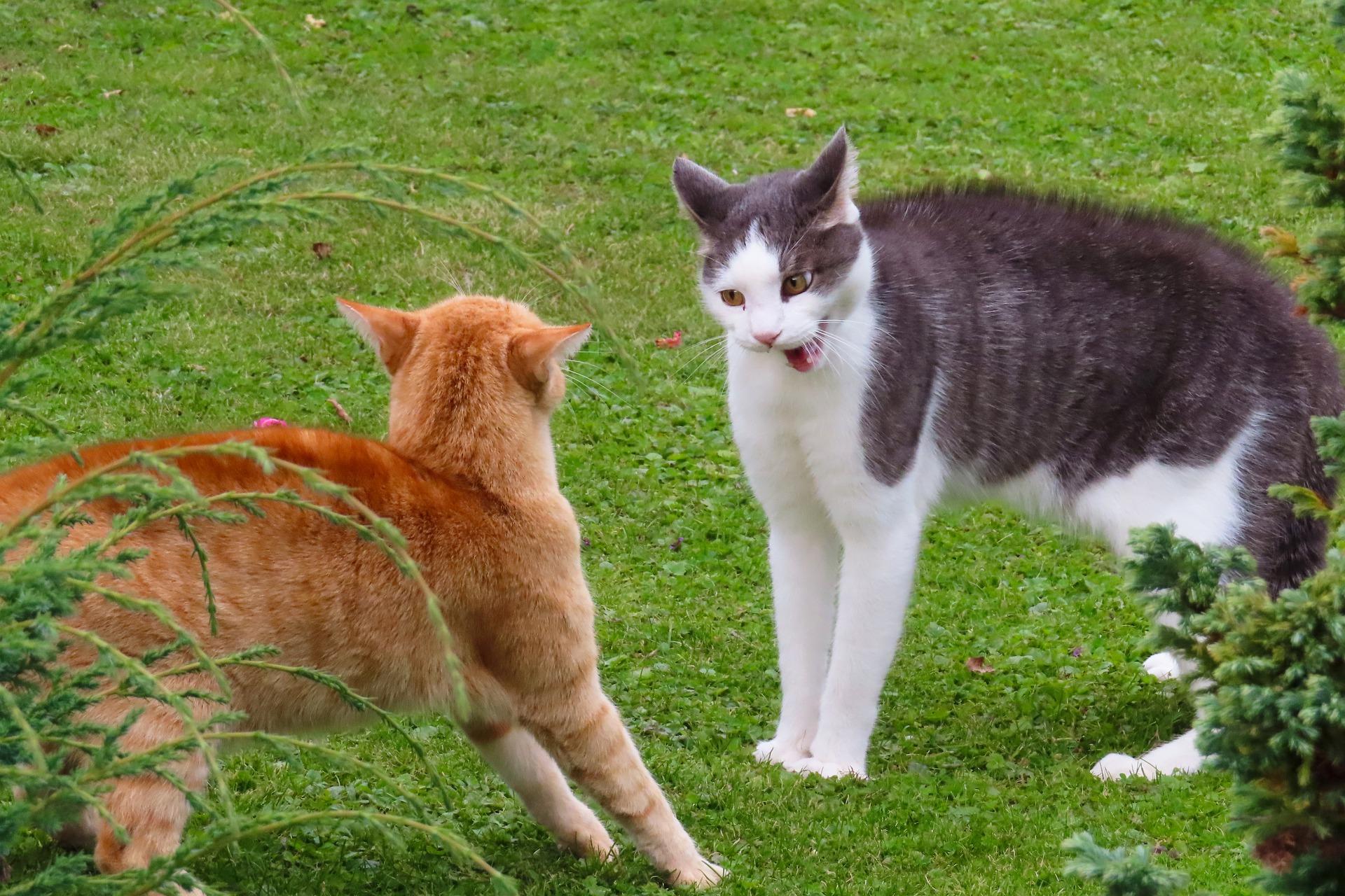 Los gatos pueden pelearse