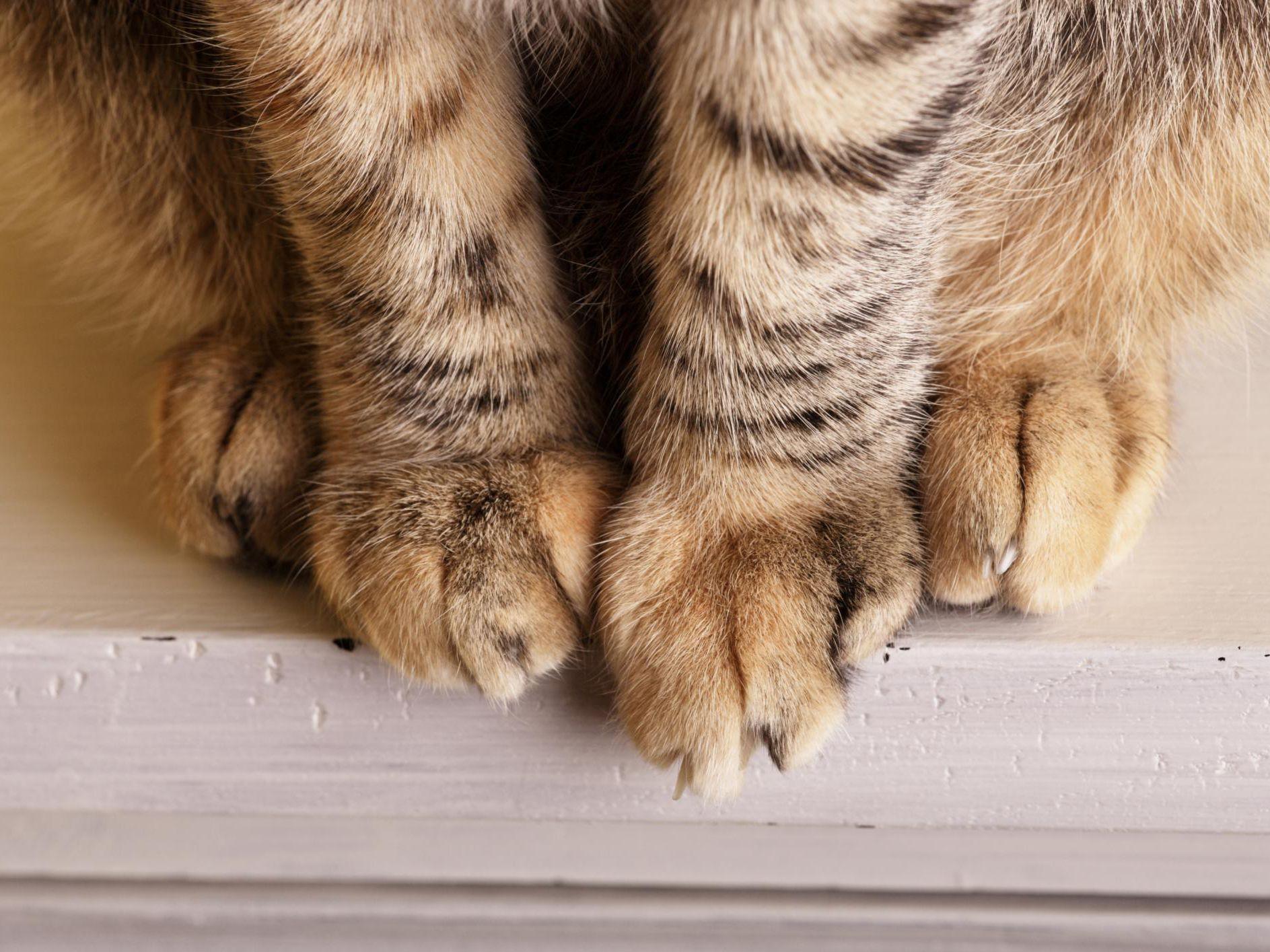 Una fractura de cadera provoca dolor al gato