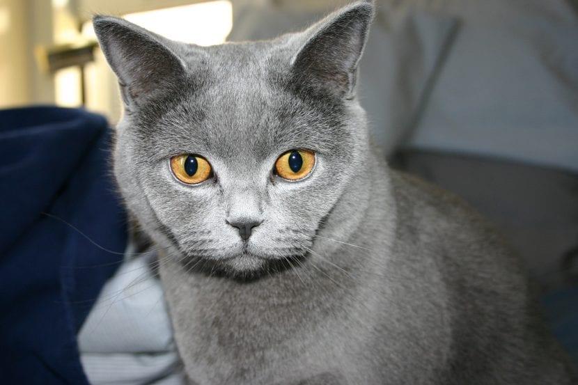 El gato British Shorthair puede tener enfermedades congénitas