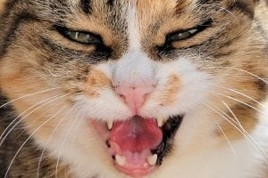 Gato atigrado con la boca abierta
