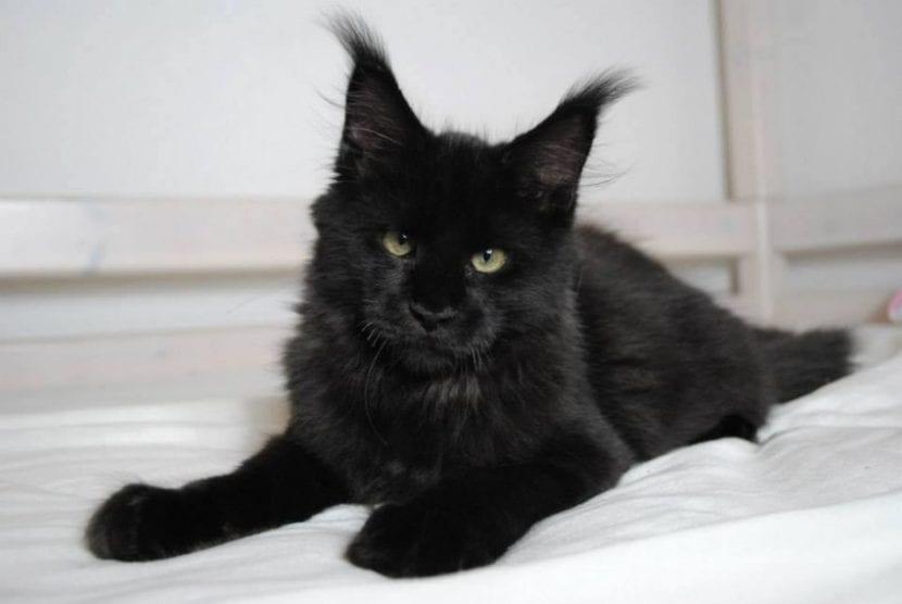 Raza gato maine coon caracteristicas
