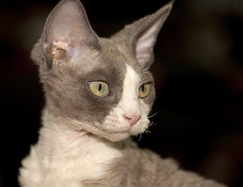 Un gato joven de la raza Devon rex