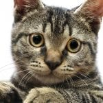 Gato American wirehair atigrado