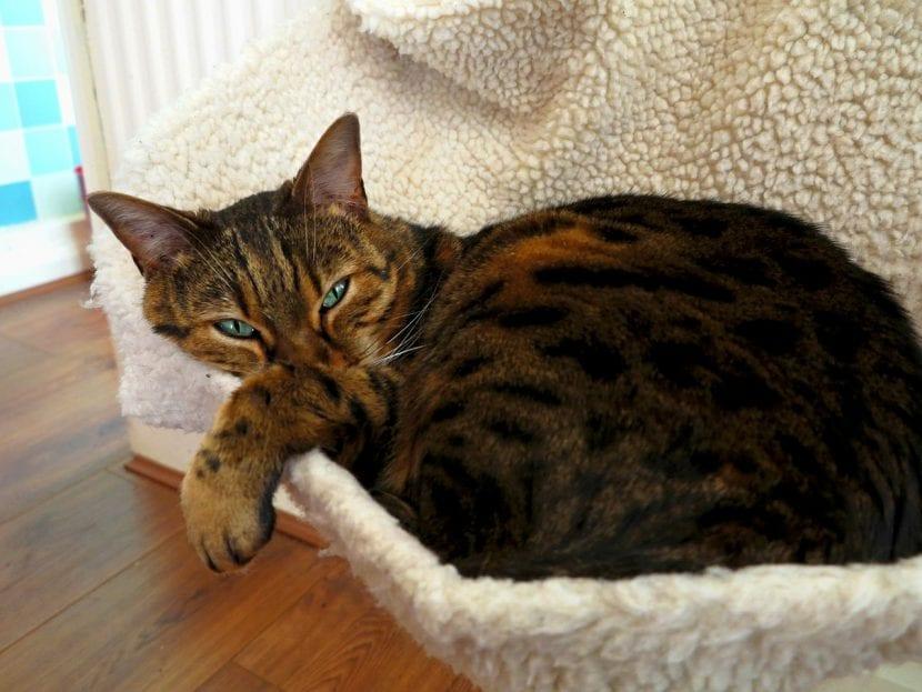 Un gato de bengala adulto descansando
