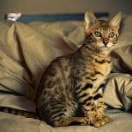Un gato de bengala de doce semanas