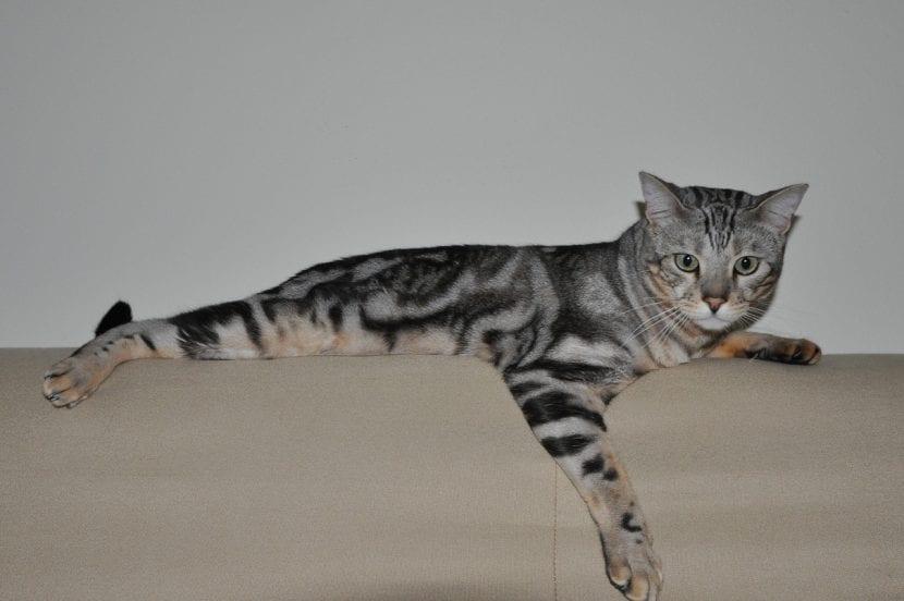 Bengala en el sofá