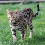 Gatito de bengala joven en el campo