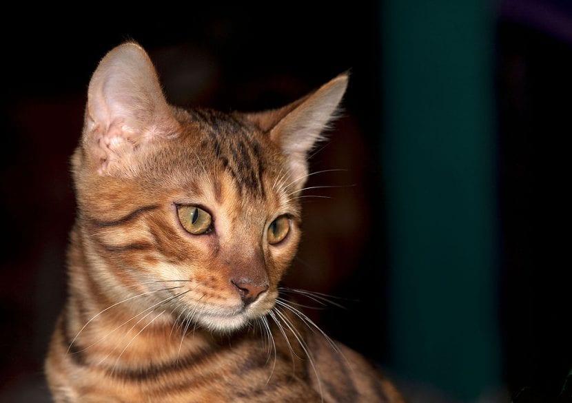 Un gato de bengala joven