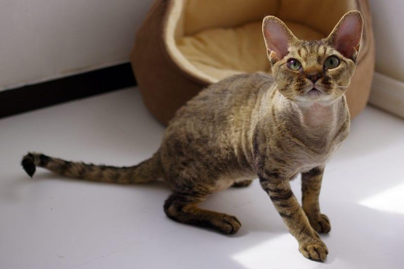 Un gato Devon rex joven
