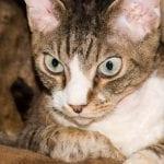 Un gato Devon rex mostrando curiosidad