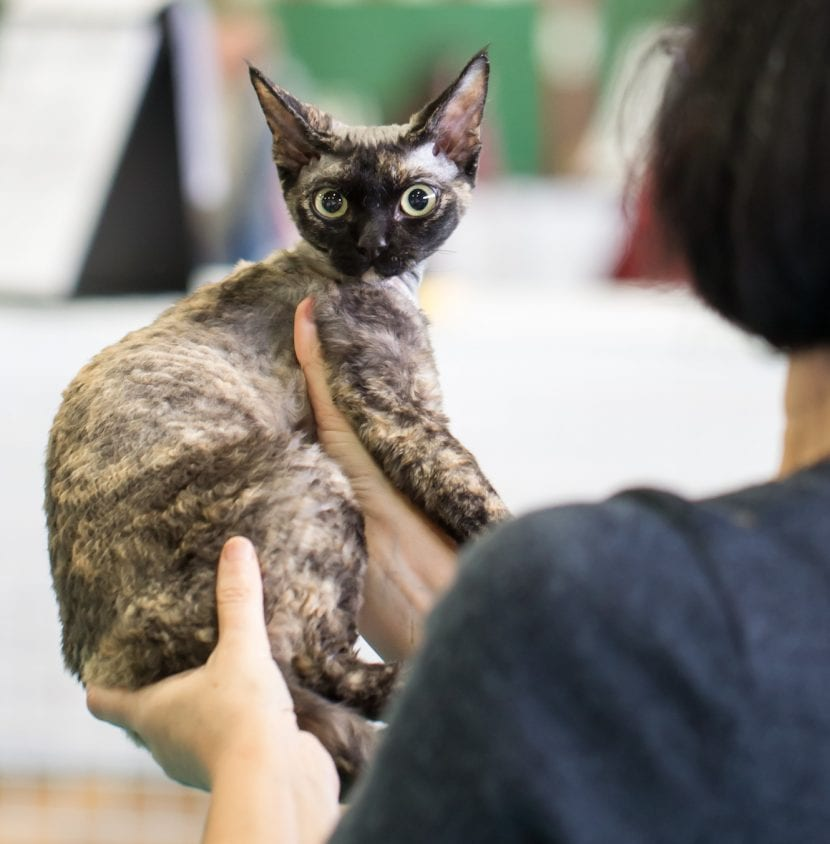 Una gata de Devon rex tricolor