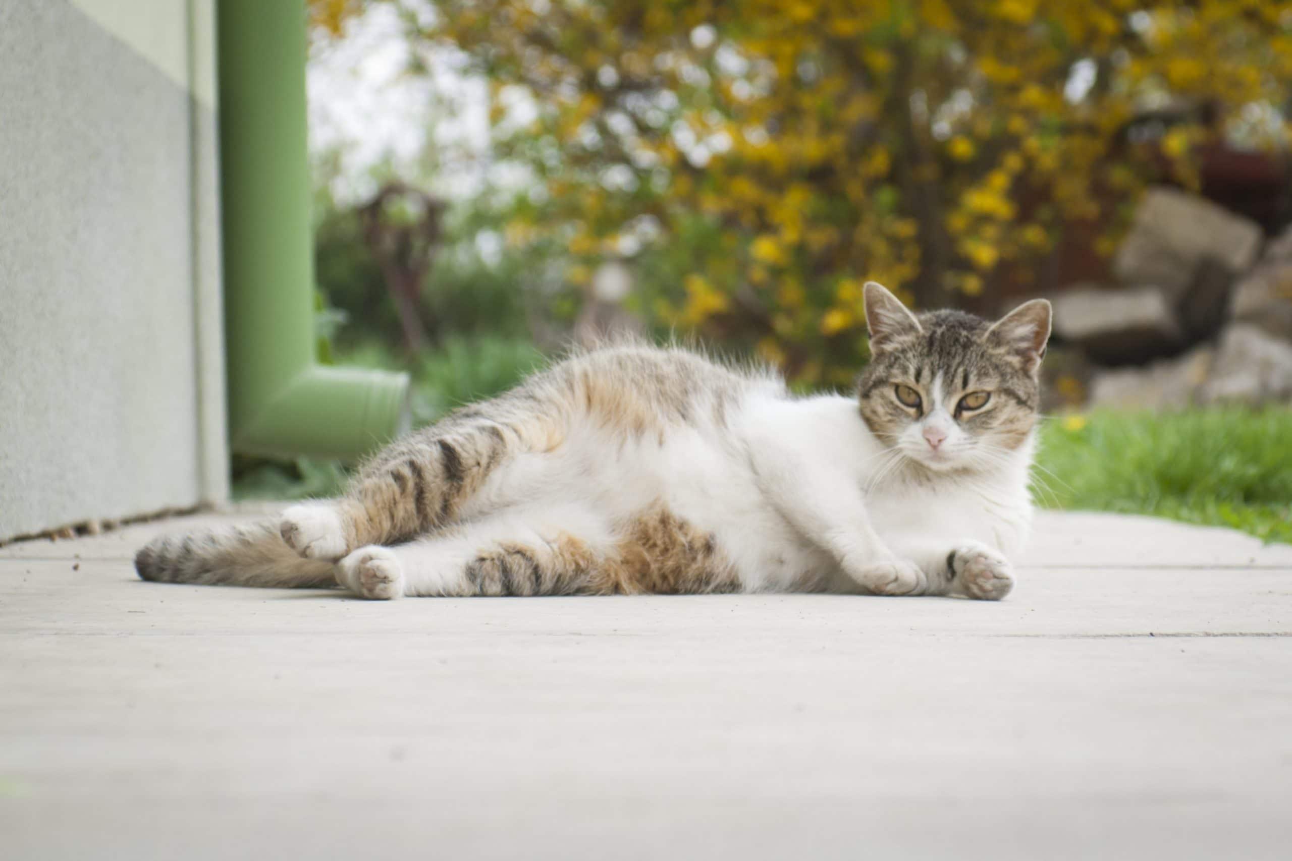 Los síntomas del embarazo felino incluyen náuseas